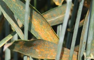 Weer lichte toename gele roest in tarwe