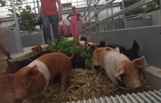 Varkenshoff toont in stal alle levenstadia varken