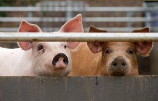 DLV+Advies+komt+met+rekentool+voor+varkenshouders