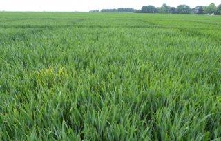 Grote verschillen in aantasting gele roest in tarwe