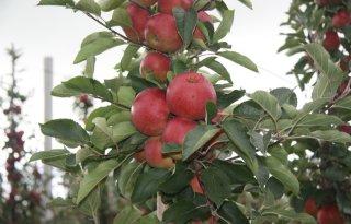 Bijten+in+eerste+genetisch+gemodificeerde+appel