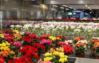Dutch+Flower+Group+breidt+uit+in+VS