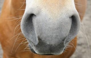 Euthanasie paard na EIA-besmetting in Vreeland