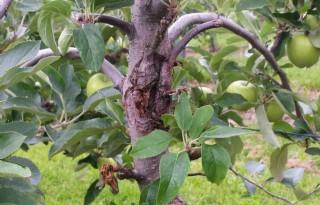 Kwekers+en+telers+pakken+vruchtboomkanker+aan