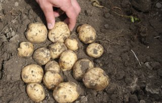 Opbrengst+aardappelen+nu+gemiddeld+ruim+46+ton