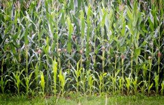 Brabant onderzoekt nieuwe voedergewassen