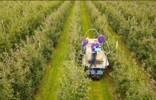 Eerste appels dit seizoen geplukt