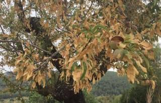 Lijst met waardplanten Xylella fastidiosa uitgebreid