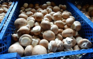 Limgroup+stopt+met+veredeling+champignons