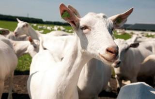 ForFarmers+levert+geitenvoer+zonder+genetische+modificatie