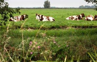 Meer+melkveehouders+sturen+koe+de+wei+in