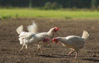 Ophokplicht+in+Nederland+voor+pluimveehouderijen