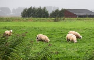 Verschillen+in+schapenprijzen+groeien
