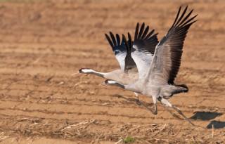 LTO Noord wil geen kraanvogelopvang