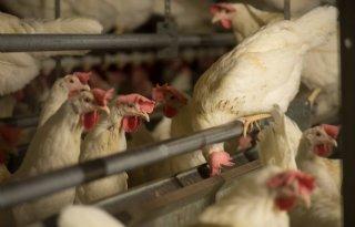 Zorgen+om+laagpathogene+vogelgriep+in+Belgi%C3%AB
