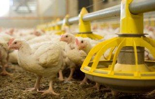 Vleeskuikenhouderij+staat+er+goed+voor