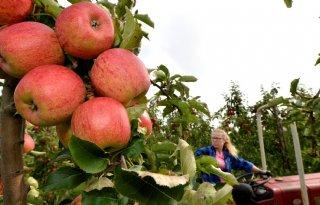Polen+haalt+500%2E000+ton+appels+uit+de+markt