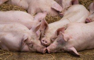 Uitgifte+aangekochte+varkensrechten+laat+op+zich+wachten