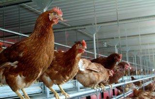Hennie de Haan blijft aan roer van vakbond pluimveehouders