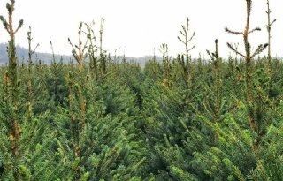 'Kerstbomen hebben droogte goed doorstaan'
