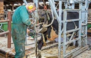 Weinig+melkveehouders+wijzigen+rantsoen+bij+klauwproblemen