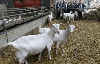 Utrecht+voert+geitenstop+in
