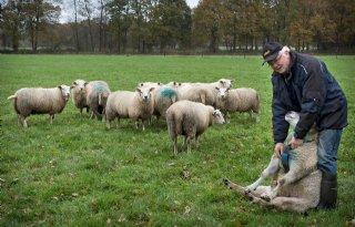 Dekseizoen+schapen+loopt+op+z%27n+eind