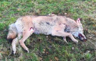 Aangereden+wolf+doodde+in+Salland+schapen