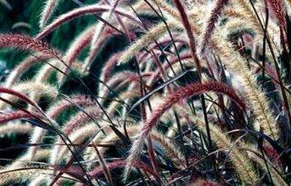 Teelt en handel Pennisetum Rubrum weer toegestaan