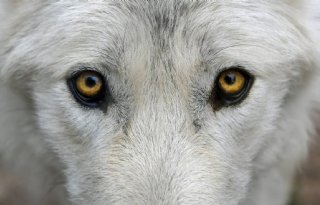 Schreijer+wil+jacht+wolf+bij+grote+overlast