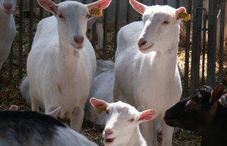 Steun+voor+groeistop+geiten+brokkelt+af