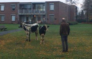 Politie+zoekt+koeienvangers+in+Bladel