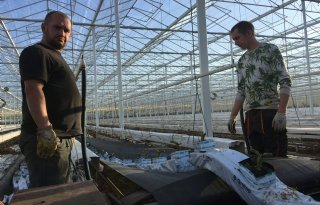 TV: Steenwolmatten in tomatenkas geruimd