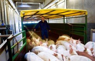 Vion+beperkt+aanvoer+varkens+vanwege+hitte