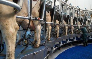 Boeren+gaan+vaker+drie+keer+per+dag+melken