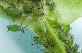 Dreigende+voedseltekorten+door+toename+insecten