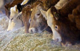 VleesveeNL+pakt+kennisvacu%C3%BCm+rundvlees+aan