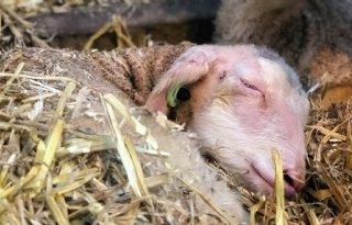 TV: Verloscursus voor schapenhouders