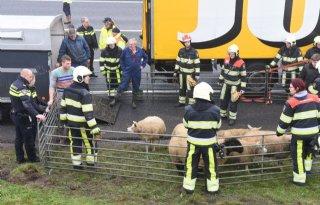 Brandweer+vangt+schapen+op+A32+bij+Heerenveen