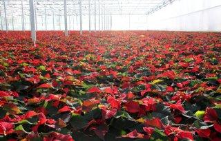 Greenpeace%3A+residuen+van+middelen+op+kerstplanten