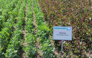 Nederland+belangrijke+handelshub+quinoa