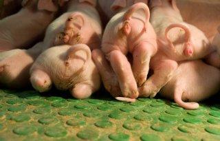 Varkensdierenartsen+willen+snel+stoppen+met+couperen