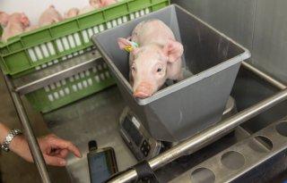 Vijftig varkenshouders via Smart Farming naar duurzamer vlees