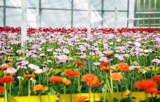 TV: Koudegolf drukt bloemenexport