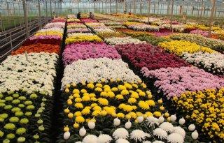 Minder belichten in chrysant leidt tot lagere productie