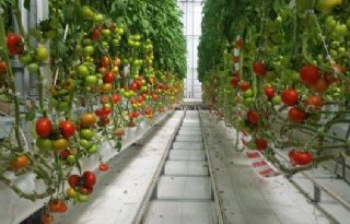 Vijf+vragen+over+proef+verrood+licht+bij+tomaten