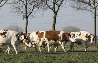 Steeds meer boeren doen aan weidegang
