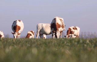TV: Koeien alweer naar buiten