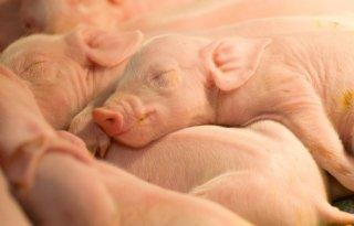 E%2Dcoli+bij+varkens+bestrijden+met+eetbare+antilichamen