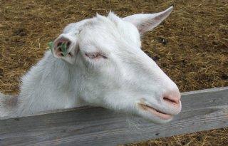 Waalre+wil+weten+hoeveel+geiten+gemeente+telt